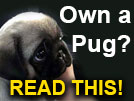 What Every Pug Owner Needs to Know