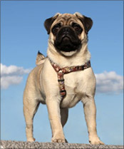 Welcome to Pugtips