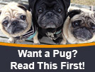 Read This Before You Get a Pug!