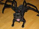 6 Adorable Halloween Pug Costumes