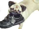 Pug Behavior: Destructive Chewing