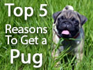 Top 5 Reasons to Get a Pug