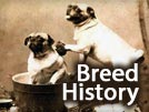 Pug History – Breed Origin
