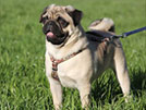 Neutering Impact on Your Pug