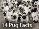14 Interesting Pug Facts