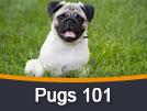 Pugs 101