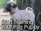 Training a Pug Puppy – Starting Early