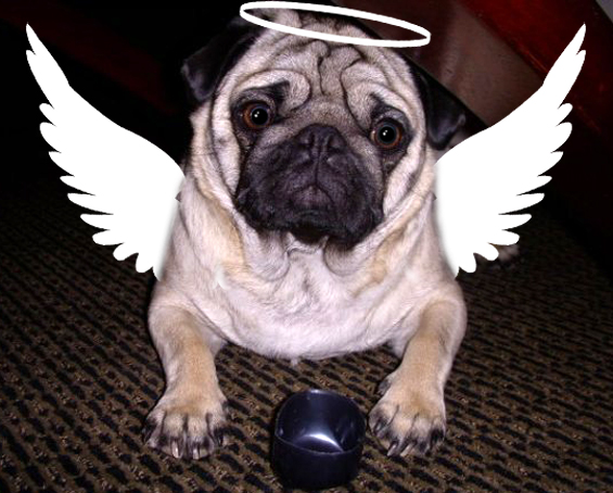 angel-pug-costume