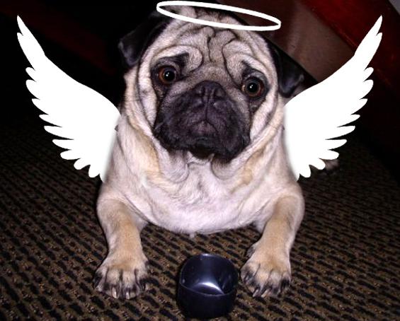 angel-pug-costume