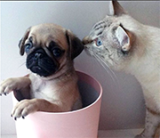 Cat Meeting a Pug