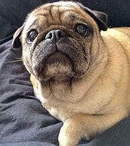 healthy-pug-pictures