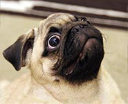 Pug Anxiety and Panic Attacks