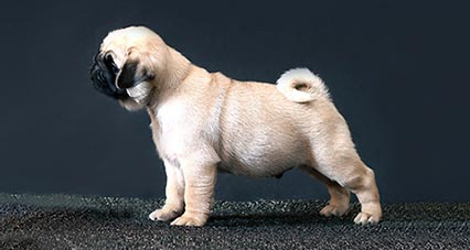 Wonderful Color Chubby Adorable Dog - pug-apparance-standard  Gallery_549588  .jpg