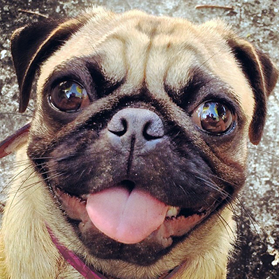 Pug face to love