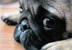pug-five-reasons