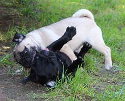 pug-puppy-bites
