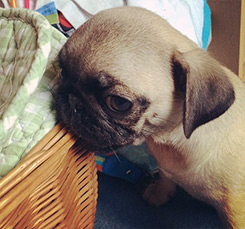 Pug Puppy Chewing