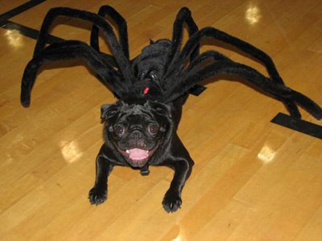 pug spider costume - Pugs Halloween Costumes