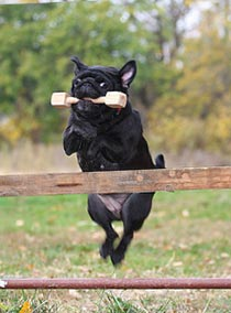 Pug Training Behavior