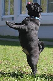 Pug Training