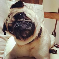 Obedient Pug listening